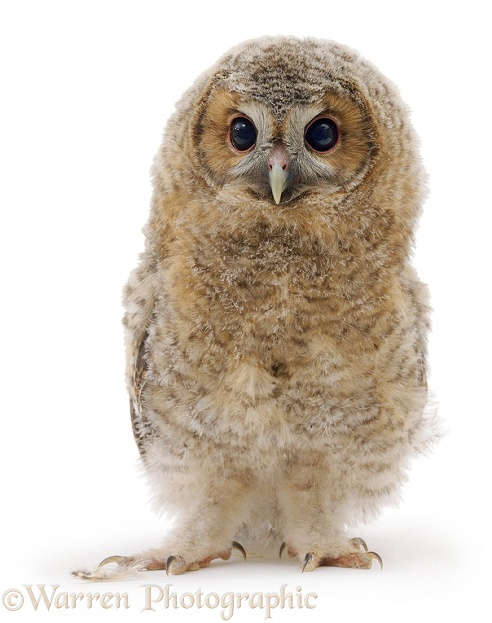 Baby Tawny Owl (Strix aluco), white background