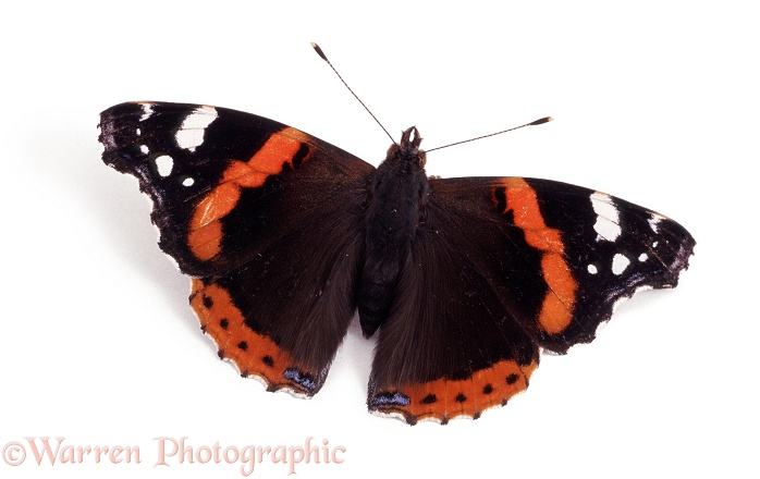 Red Admiral Butterfly (Vanessa atalanta) basking with wings open, white background
