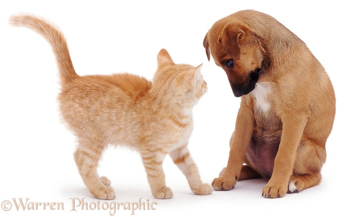 Puppy looking at ginger kitten, white background