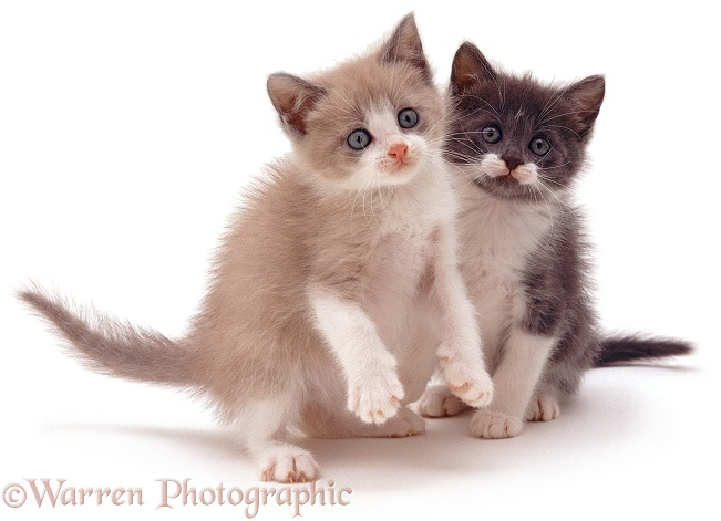 Two Burmese-cross kittens, lilac and blue, white background