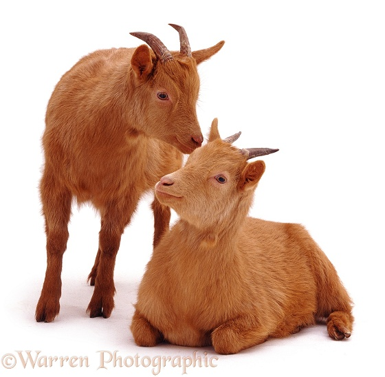Two ginger goats, white background
