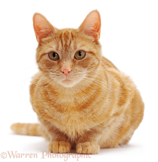 Ginger female cat, Lucky, crouching, white background