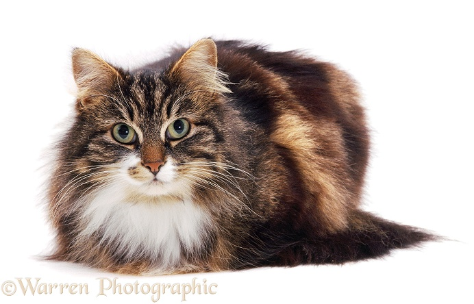 Longhaired Tabby-and-white cat, Molly, white background