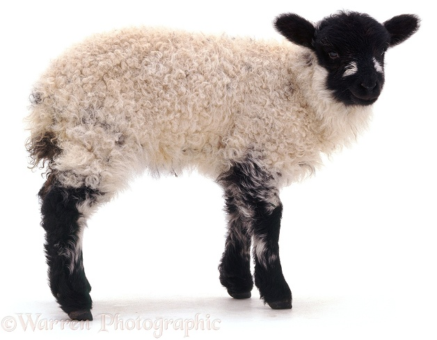 Shropshire x Rough Fell lamb, white background