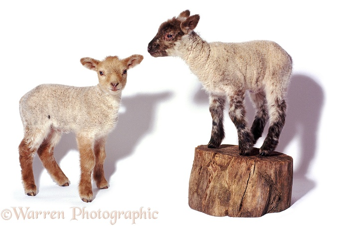 Pair of lambs, white background