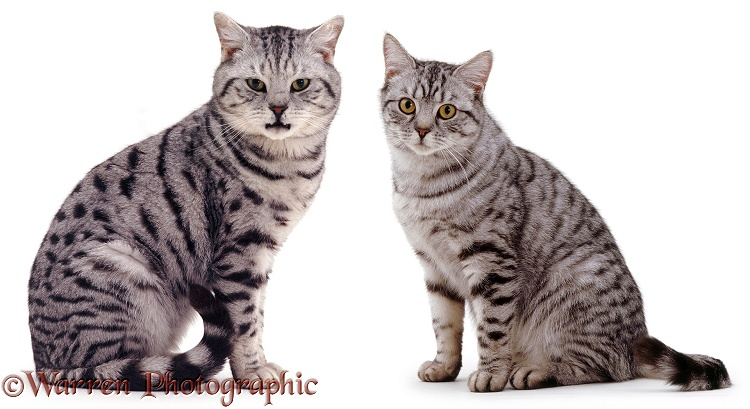 Male and female silver tabby cats, Zorro and Aster, white background