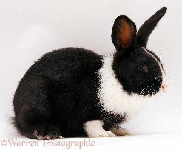 Black-and-white Dutch Rabbit Photo WP04664