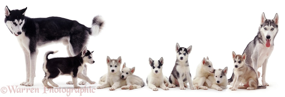 Siberian Husky family, white background
