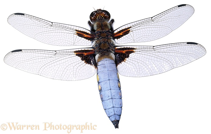 Broad-bodied Chaser Dragonfly (Libellula depressa) male, white background