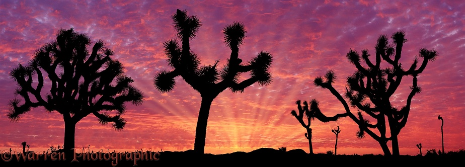 Joshua Trees (Yucca brevifolia) at sunrise.  California, USA