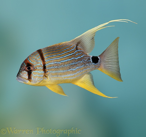 Majestic Snapper (Lutianus sp.)