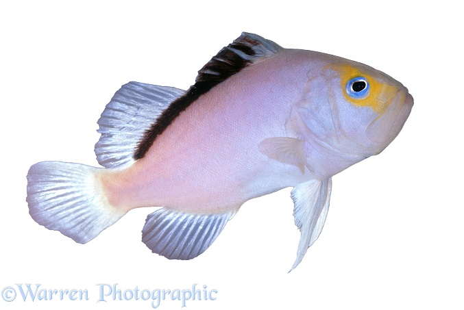Lilac Snapper (Diploprion species), white background