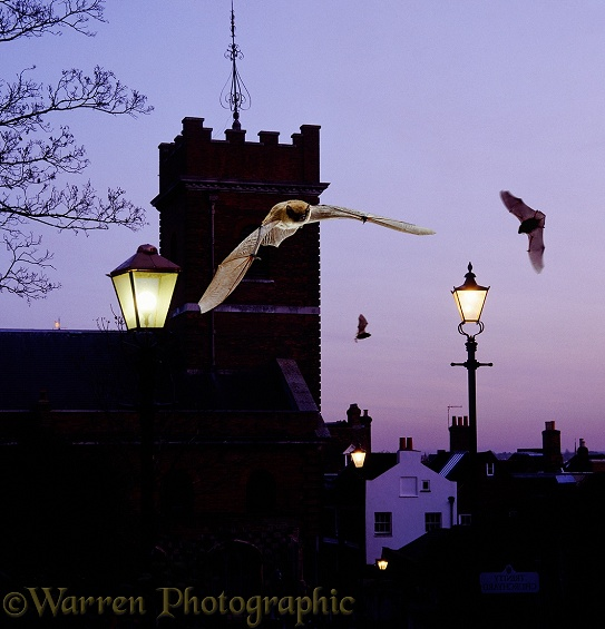 Pipistrelles (Pipistrellus pipistrellus) in flight around a church at dusk.  Europe