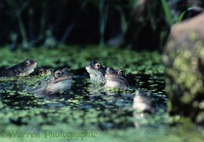 Common Frogs (Rana temporaria) males croaking in a pond.  Europe
