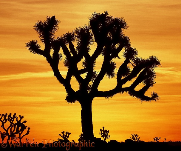 Joshua Tree (Yucca brevifolia) at sunrise.  California, USA