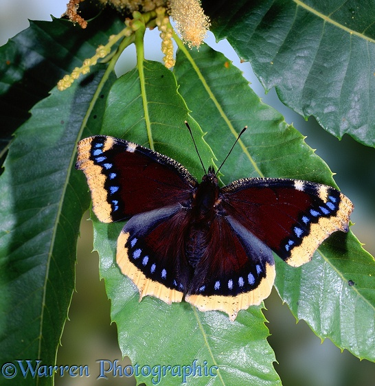 Camberwell Beauty Butterfly (Nymphalis antiopa)