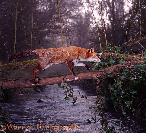 Red Fox (Vulpes vulpes) using a fallen elm to cross a stream at dawn