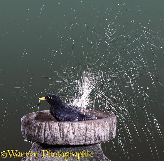 Blackbird (Turdus merula) bathing.  Europe