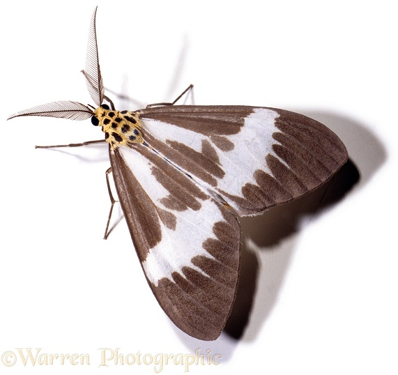 Moth.  Borneo, white background