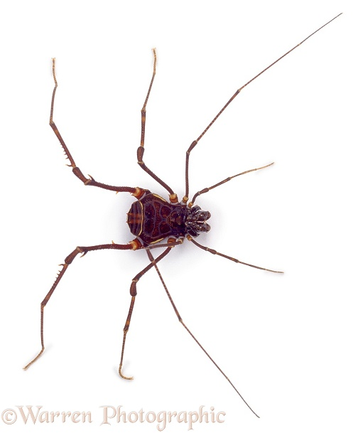 Tropical harvestman, white background