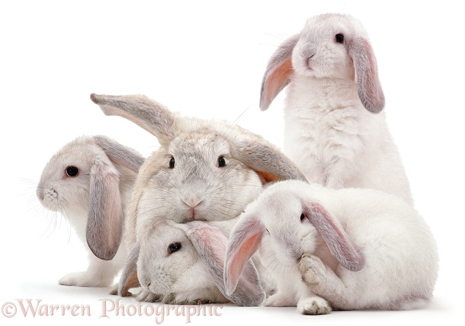 Rabbit mother and youngsters, white background