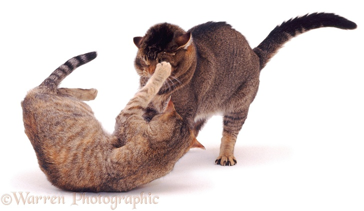 Tabby cat Dainty, turning on her mate Mowgli, white background