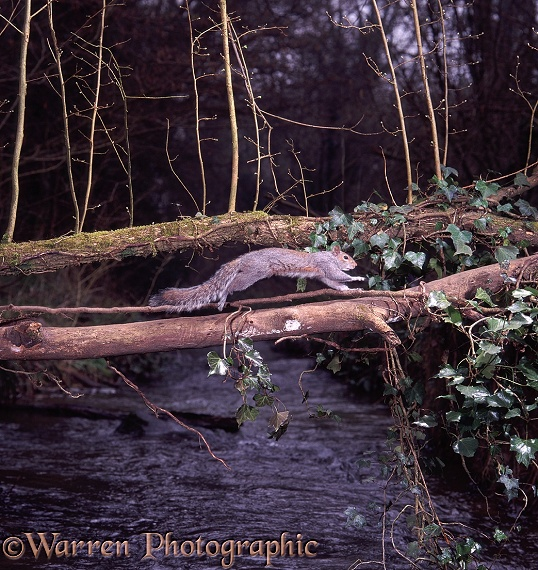 Grey Squirrel (Sciurus carolinensis) using a fallen elm to cross a stream at dawn