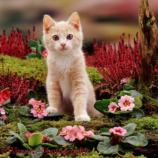 Cream kitten Apollo II, with pink primroses