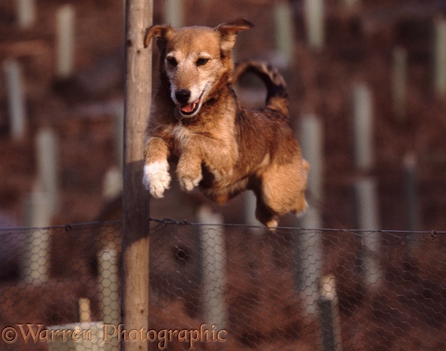 Lakeland Terrier x Border Collie bitch Bess jumping fence