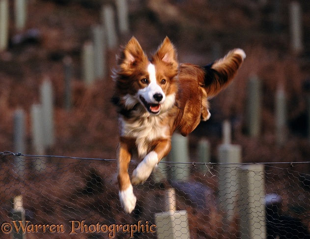 Border Collie Lollipop, jumping fence