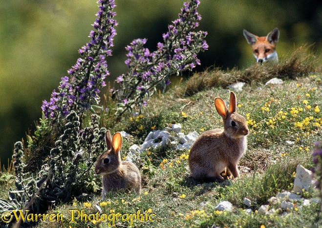 Young Rabbits (Oryctolagus cuniculus) being watched by a Fox (Vulpes vulpes)