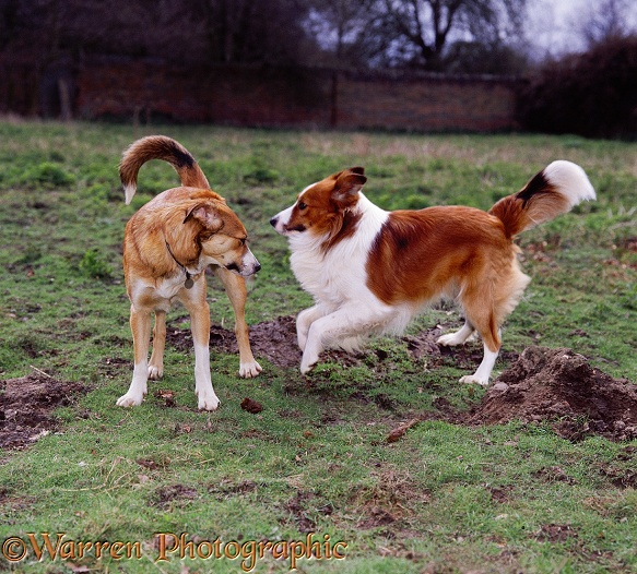 Border Collies, Honey and Hans, playing