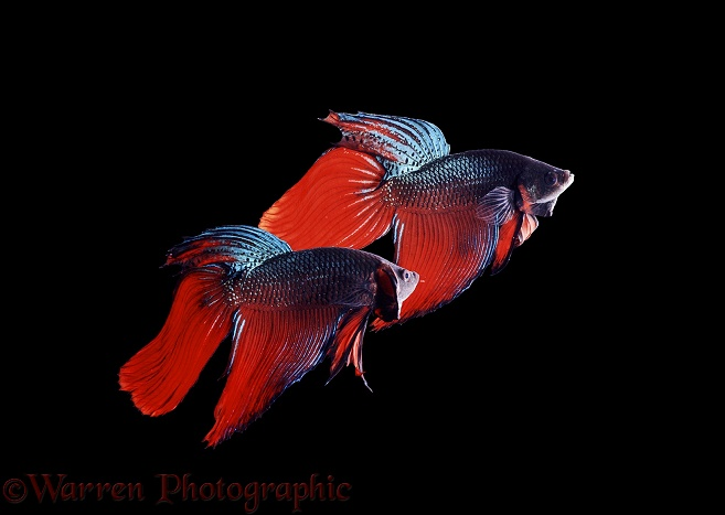 Siamese Fighting Fish (Betta splendens) males displaying aggressively at each other, one turning to present spread gill covers to its opponent