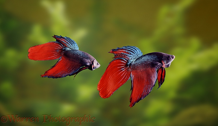 Siamese Fighting Fish (Betta splendens) males displaying aggressively at each other.  Malay peninsula and Thailand