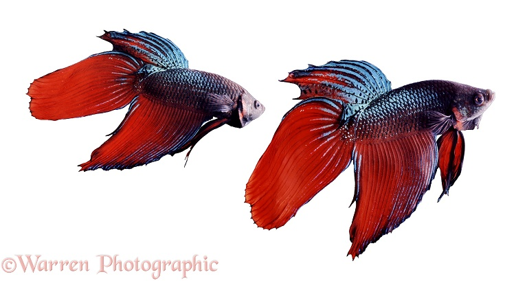 Siamese Fighting Fish (Betta splendens) males displaying aggressively at each other.  Malay peninsula and Thailand, white background