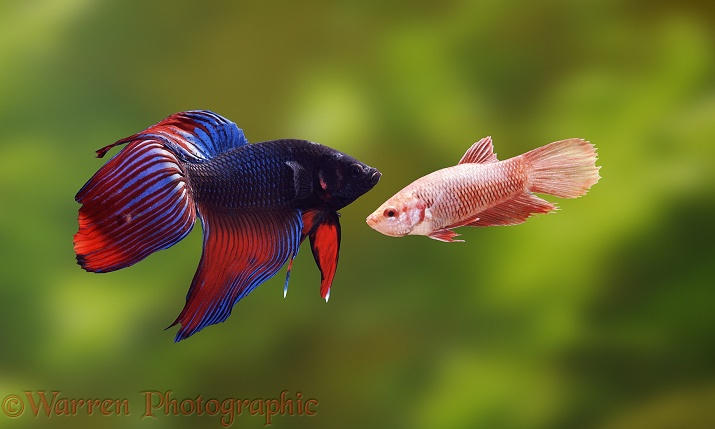 Siamese Fighting Fish (Betta splendens) male and female in courtship display
