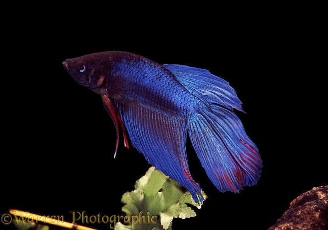 Siamese Fighting Fish (Betta splendens) male.  Malay peninsula and Thailand