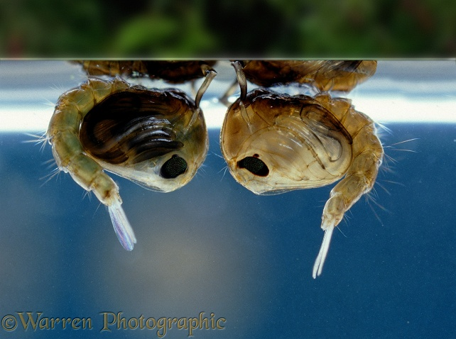 Mosquito (Culex sp.) pupae hanging at the water's surface