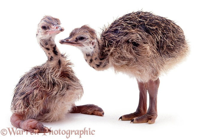Baby Ostriches (Struthio camelus), white background