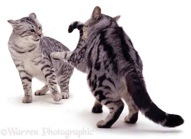 Aggressive silver tabby cats, white background