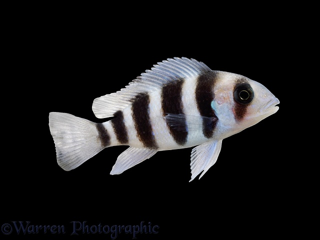 Humphead Cichlid (Cyphotilapia frontosa)