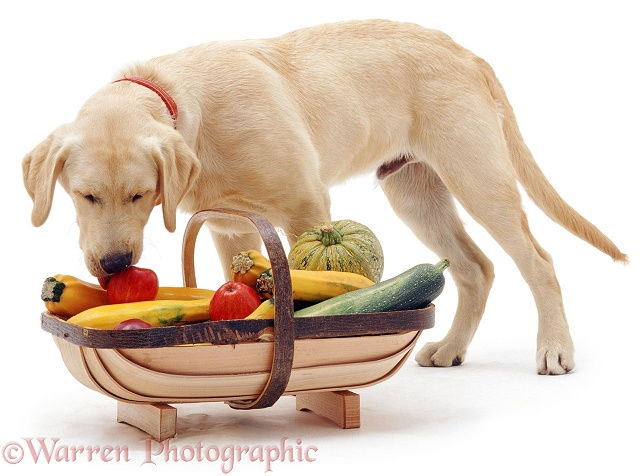 Labrador x Golden Retriever pup Remus stealing an apple stolen from the trug basket, white background