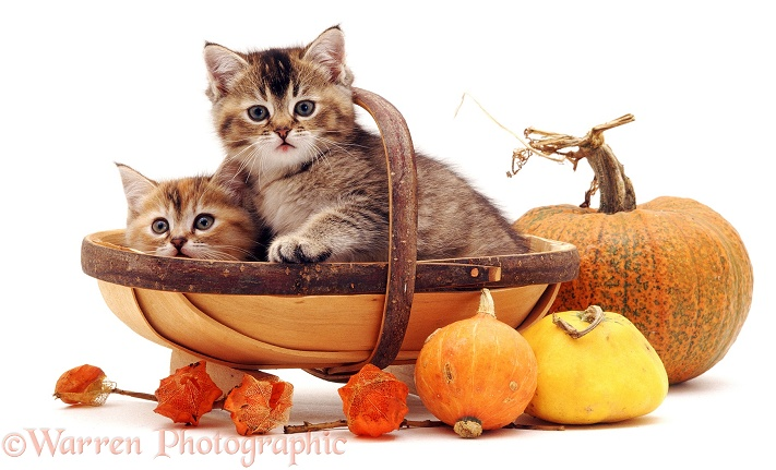 Kittens in a trug basket, white background