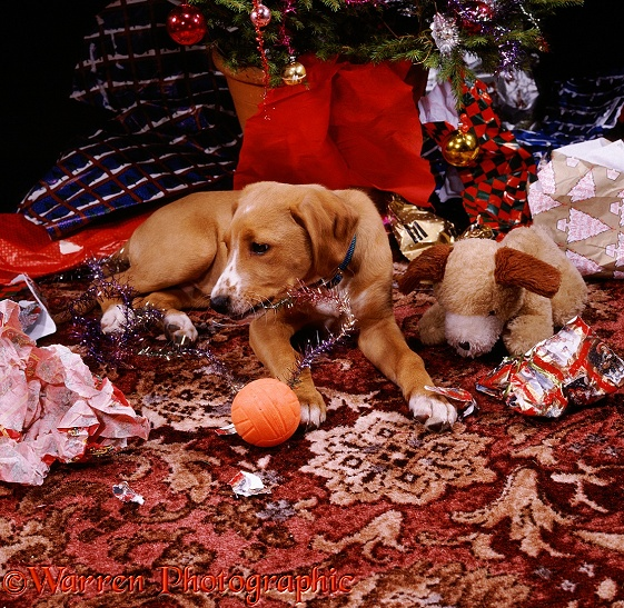 Mongrel pup Rupert with toy puppy underneath the Christmas tree