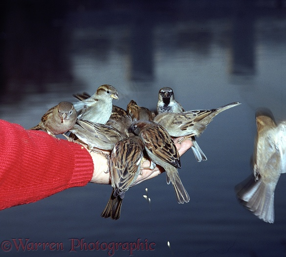 House Sparrows (Passer domesticus) feeding from the hand in a London park