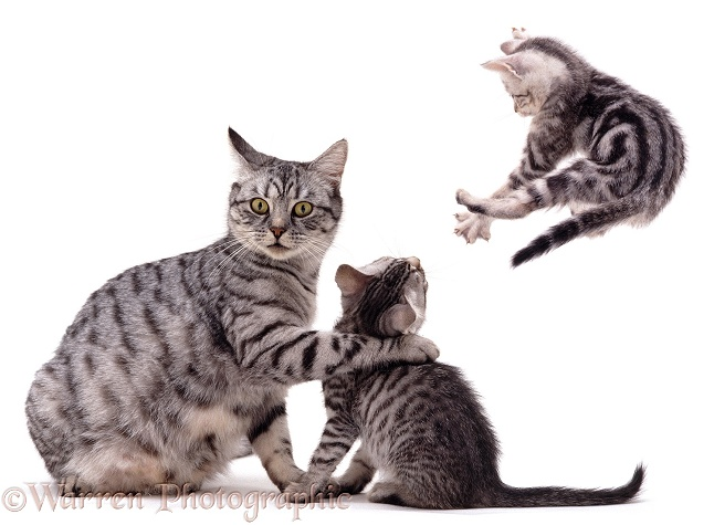Silver spotted tabby cat Aster with playful spotted and classic tabby kittens, white background