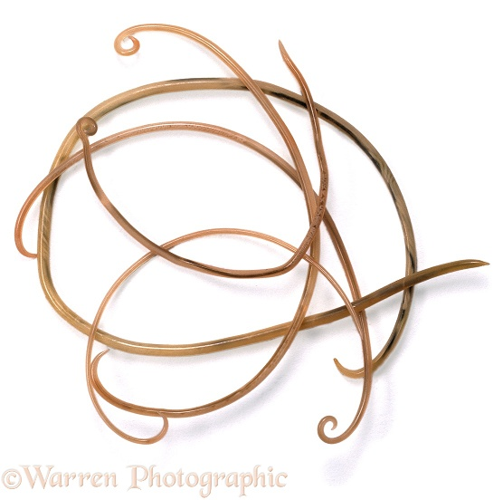 Roundworms (Toxocara canis) from the gut of a dog, white background