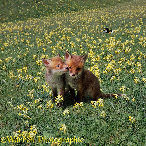 Fox cubs and cowslips