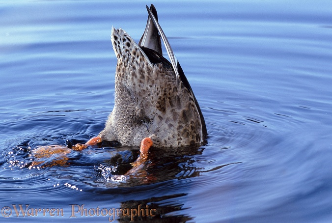 Mallard (Anas platyrhynchos) with head underwater feeding from the bottom of a shallow pond