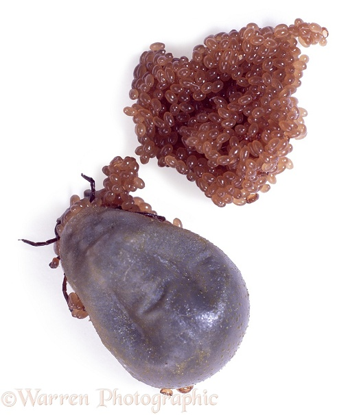 Sheep Tick (Ixodes ricinus) dies shortly after laying clutch of eggs, white background